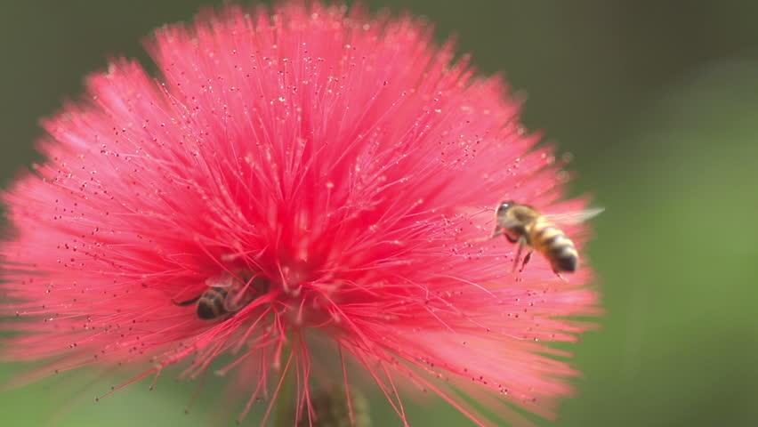 Slow Motion 240fps Honey Bee Macro lands on red flower | Shutterstock HD Video #3182326