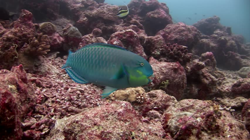 Parrot fish underwater eats coral on seabed in Maldives. Unique macro video closeup footage. Abyssal relax diving. Natural aquarium of sea and ocean.