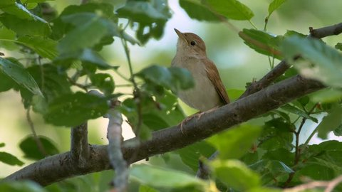 Common nightingale (Luscinia megarhynchos) singing