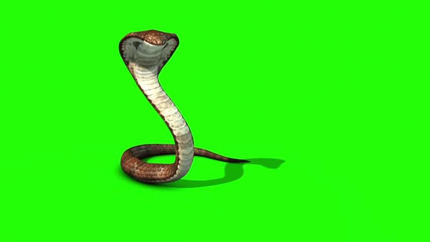Cobra Snake Attacks Green Screen Stock Footage Video (100% Royalty-free)  32030746 | Shutterstock