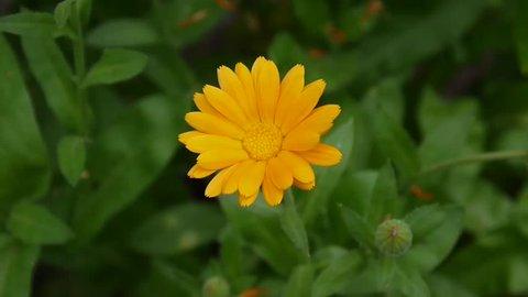 Calendula flower, medicinal plant. Calendula officinalis.