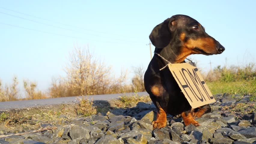 """Homeless dog Dachshund breed, black and tan, sits with a cardboard """"house"""" sign on the street on the road, a sad look 