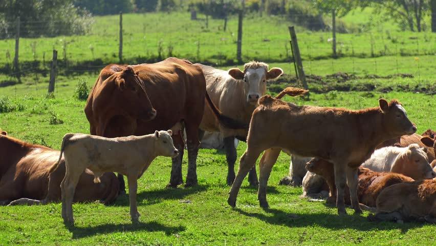 calf cows look onward as rest of herd lays down in heat