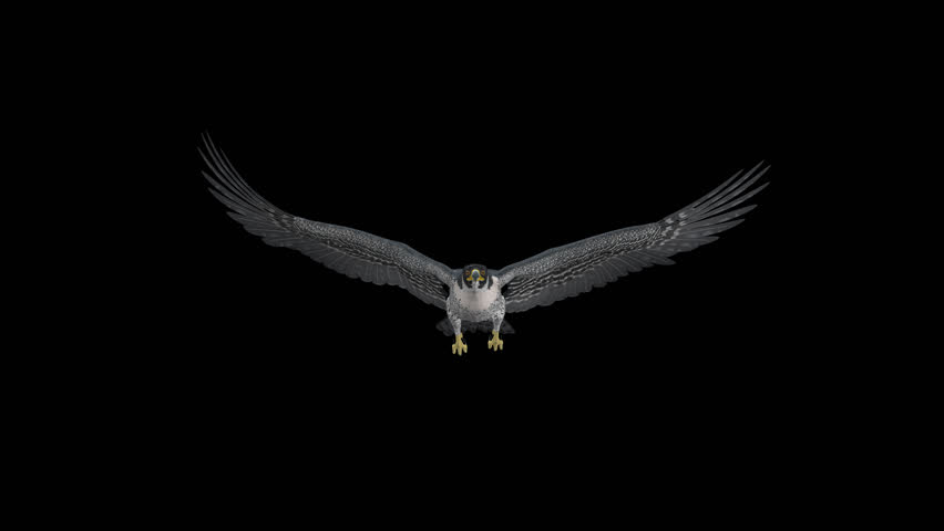 Peregrine Falcon - II - Gliding and Flapping Loop - Front View Closeup - 4K UHD resizable realistic cinematic 3D animation of flying bird of prey with alpha channel isolated on transparent background.