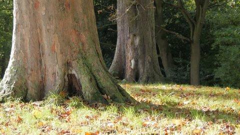 Woodland. Trees. 2 large tree trunks in Autumn. Leaves falling. Dappled sunlight.
