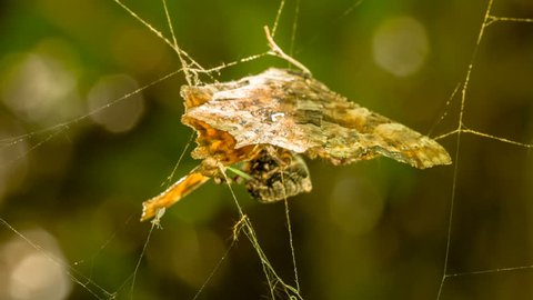 HD 1080p extreme close up video of a spider weaving a web around its prey/Spider weaving a web around prey