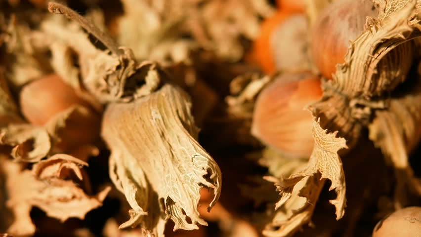 Hazelnut (cobnut or filbert nut). Hazelnuts are harvested in autumn.  Hazel tree nuts and leaves. Organic Farming, Italy.