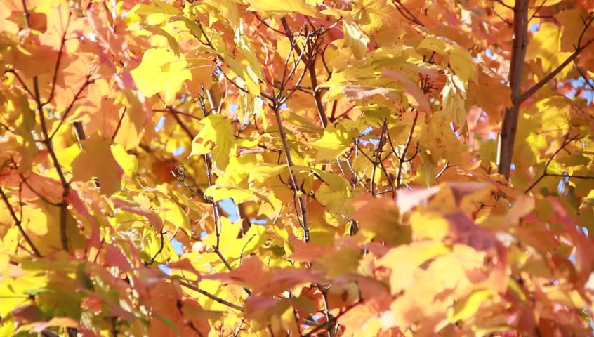 Header of Acer saccharum