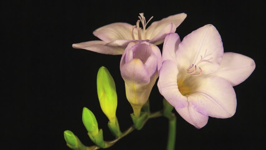 Pink flowers free video clips 238 free downloads pink freesia flowers blooming on black background time lapse mightylinksfo