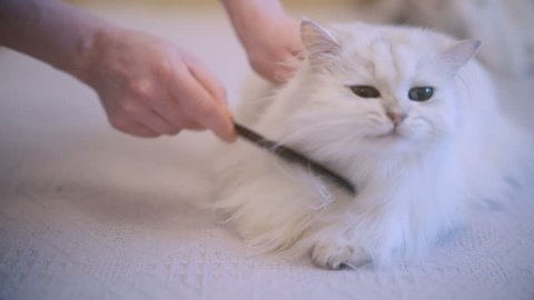 Cat lying and enjoying while being brushed, woman combing fur of snow white cat