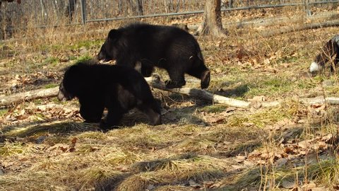 Zookeeper is playing with two cute himalayan black bear cubs who are chasing him.