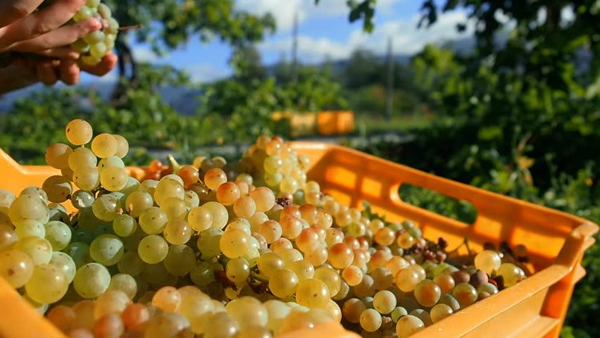 White Grapes On Vine. Grapes Harvest Vineyard Italy. Wine Grapes Harvest In Italy. Italian Countryside.  Plantation of Grape Bearing Vines. Harvesting Grapes Vineyard. Picking Crops Autumn Harvest