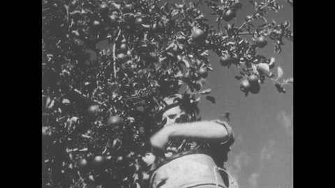 1950s: UNITED STATES: man picks fruit from tree. Hands sort apples into wooden boxes. Men load apples. Man at top of ladder picks apples from tree. Cows graze in field