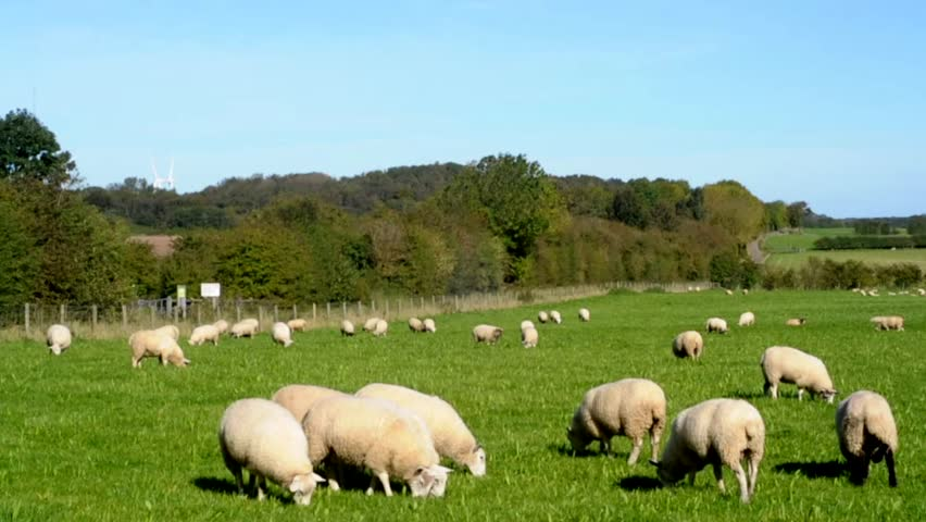 County Durham England UK Sheep graze the pastures of County Durham