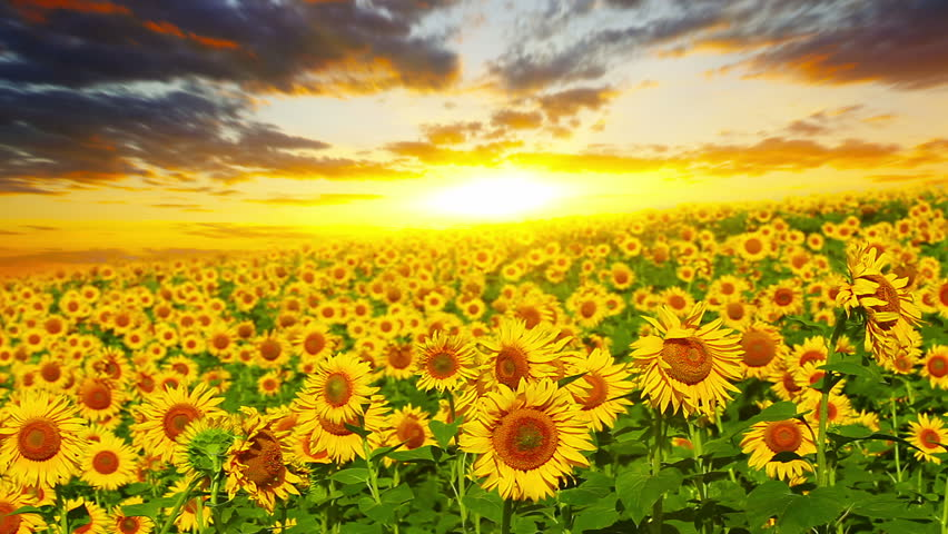 flowering sunflowers on a background sunset #3251299