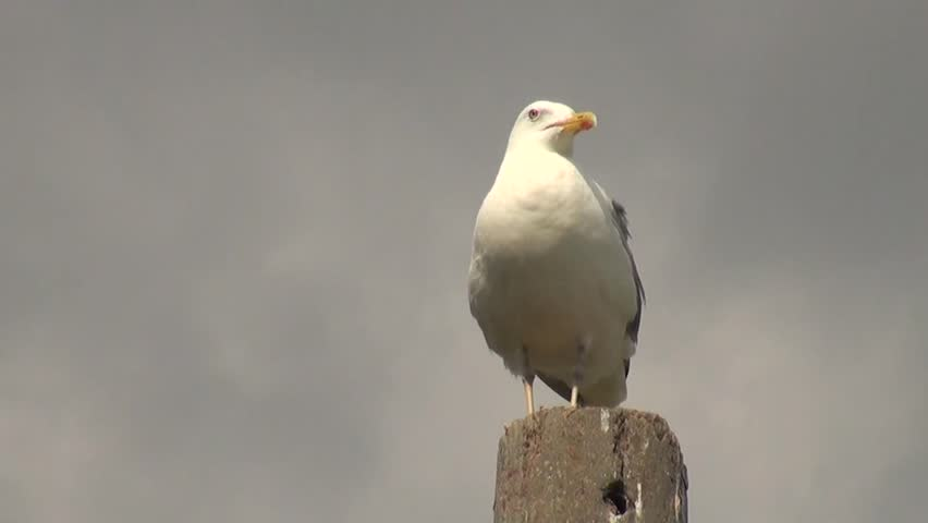 Seagull stands at pole looks around and then takes flight
