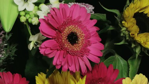 Medium close up motion time lapse shot of a dark pink gerbera dying amongst various flowers in a colorful bouquet.