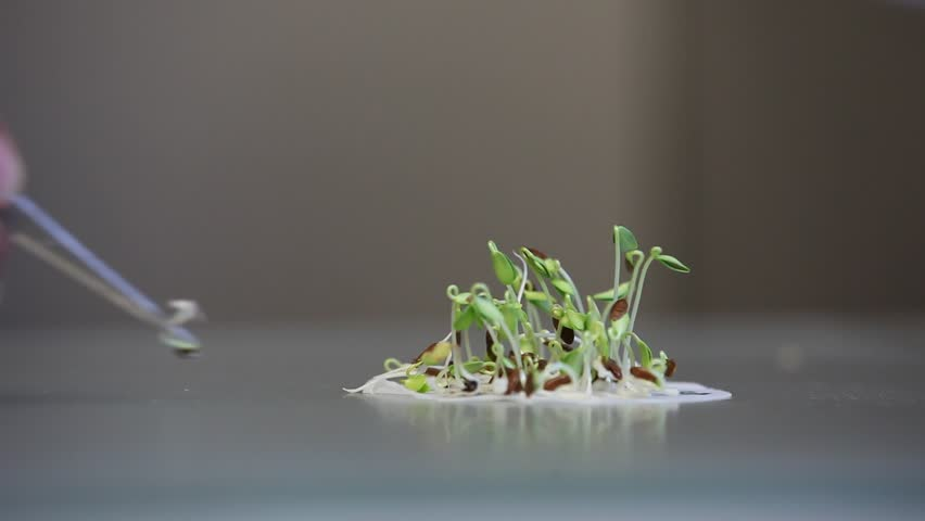 Counting and selecting a small group of germinating seedlings on a substrate surrounded by water or nutrient rich liquid with copyspace | Shutterstock HD Video #3254296