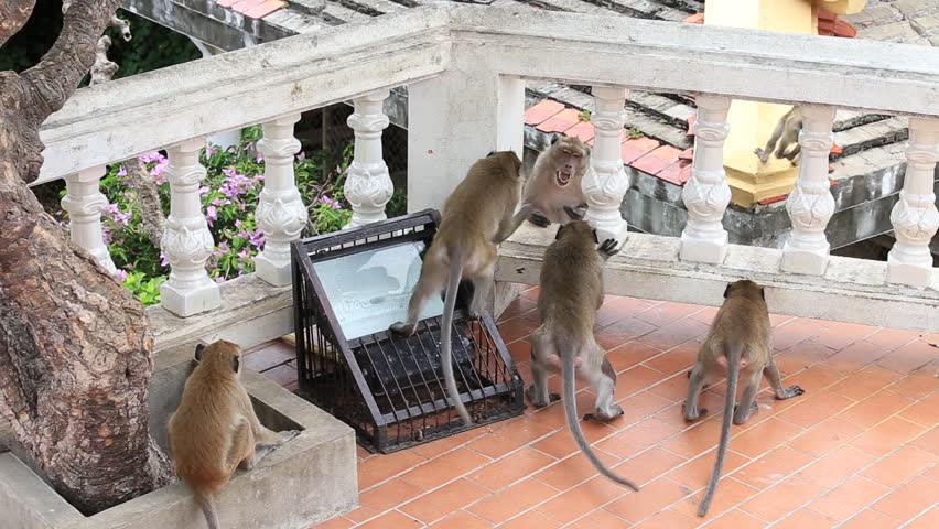 Aggressive angry monkey in buddhist temple. Hua Hin, Thailand