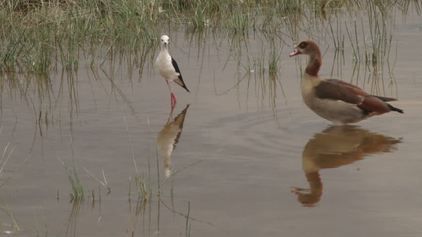 A black winged stilt is able to chase away a goose from her space. #32554006