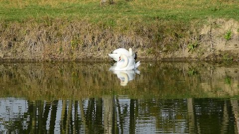 swans on the small river