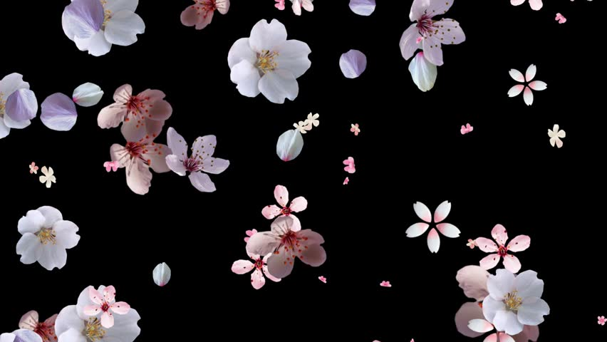 Pink Flower Petals Rising With Black Background Stock ...