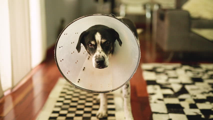 A dog wearing a cone, inside the home. The cone is used to prevent the dog to lick injured wounds in the body.