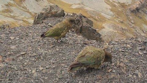 Kea inquisitive mountain parrot of New Zealand