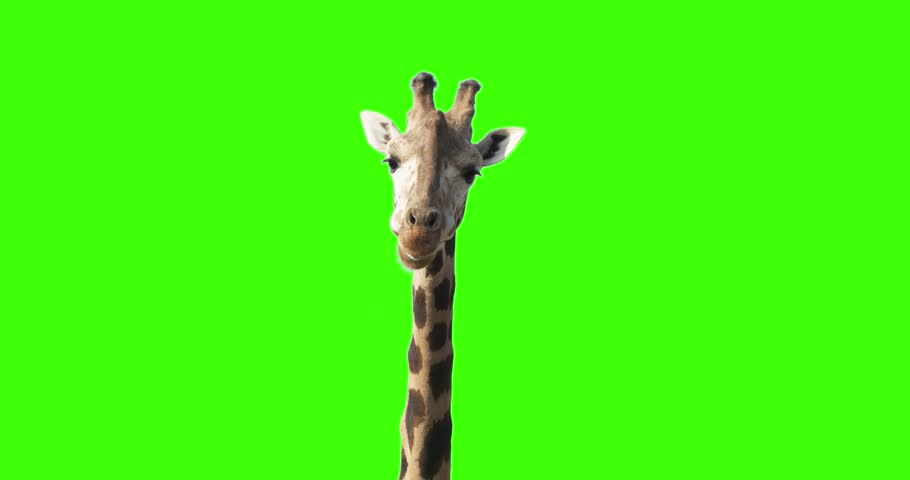 Green screen shot of a giraffe looking to the camera while eating stops few seconds blinks one eye and continues eating.  #32758366