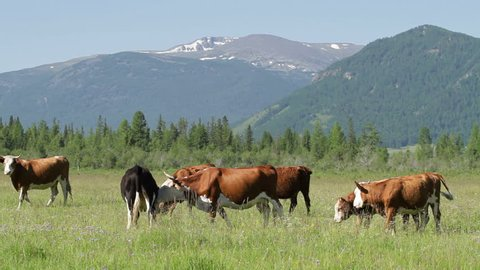 Mountain Altay Landscape. The summer mountain scenery. The green grass covers a large valley located between the snow-capped peaks of distant mountains. The white-brown cows grazing freely.
