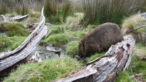 Tasmanian Wombat Drinking Water From A Stream - Tasmania Australia