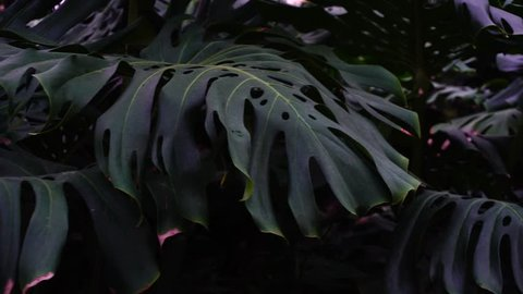 Close-up photography, green plants with large leaves grow in jungles. Huge foliage have holes. Concept of tropical plants.