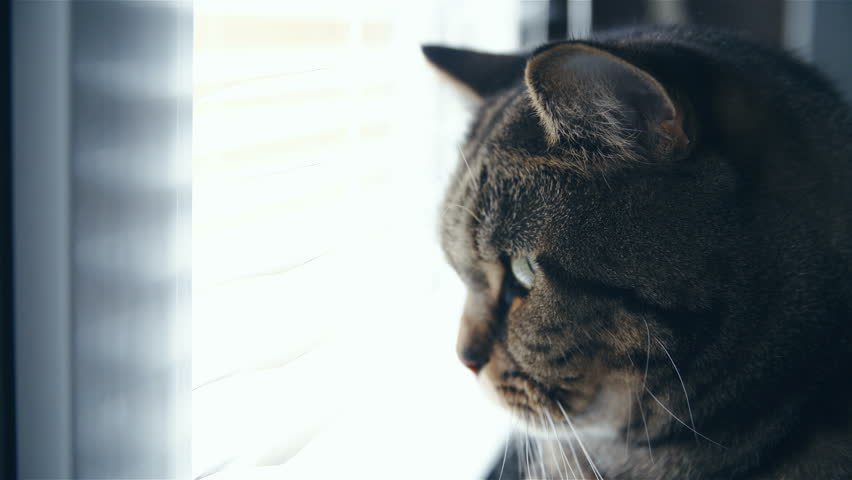 Cat Head Watching Trough Window Close Up 4k Side Shot Of Cute British Breed In Focus While Looking Through Blinds