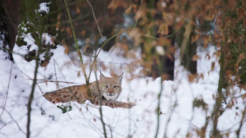 Eurasian Lynx lying sneaking and looking into camera (Lynx lynx carpathicus)