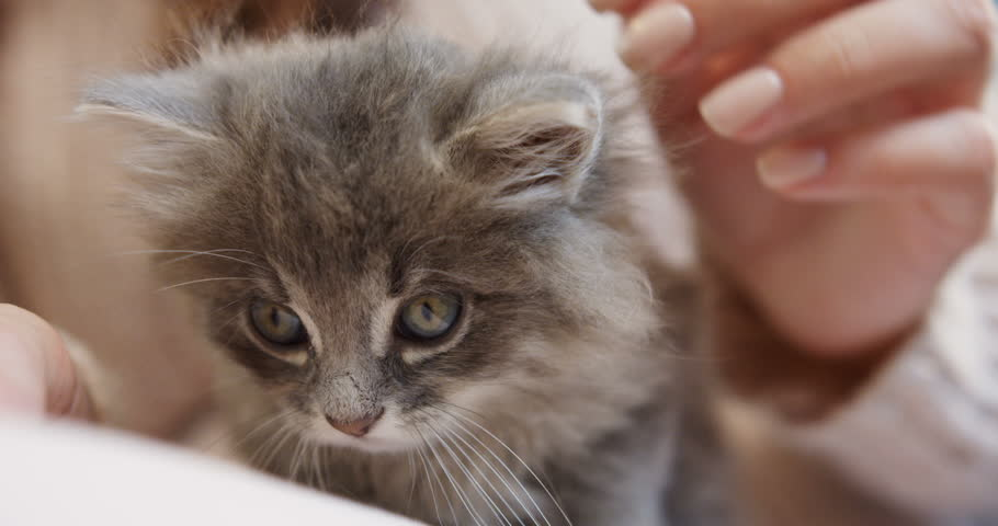 Close up of a cute little kitty sitting in the female hands which stroking it. Indoor | Shutterstock HD Video #33081136