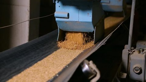 Grain moves along the conveyor belt. Wheat is transported by conveyor for drying and grinding in a mill. Wheat is ground into flour. Wheat grain on the conveyor.