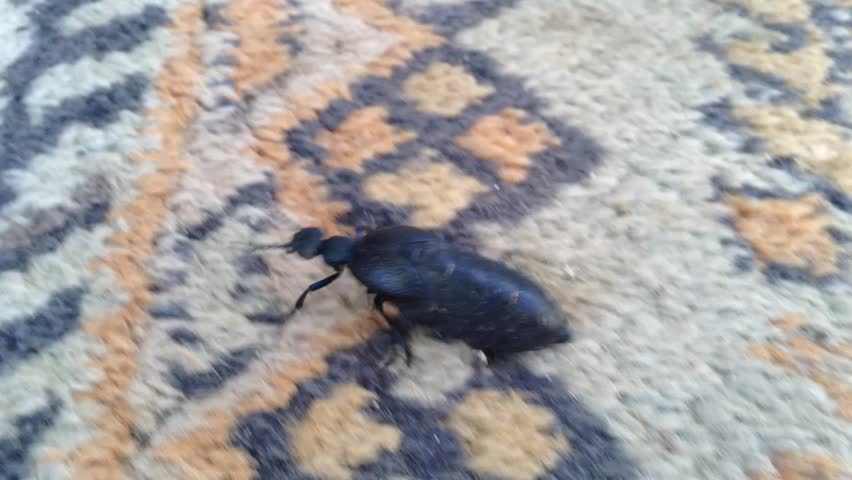 Big Crimean black beetle Meloidae with a big ass crawls on the carpet