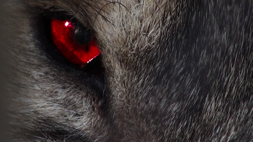 Wolf head with intense red eye, artificial colored
