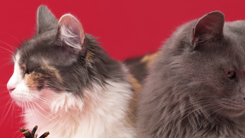 Portrait of a beautiful purebreed Nebelung cat and Turkish Angora cat, isolated on red.