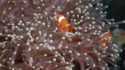 Nemo clown fish in the anemone on the colorful healthy coral reef. Anemonefish hiding underwater in it's host actinia. Scuba diving coral reef scene with nemo and anemone.