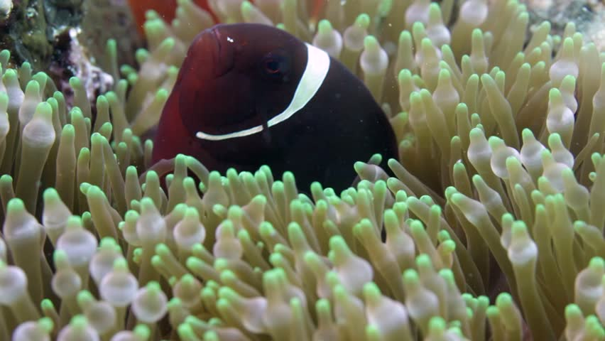 Nemo clown fish in the anemone on the colorful healthy coral reef. Anemonefish hiding underwater in it's host actinia. Scuba diving coral reef scene with nemo and anemone.   Shutterstock HD Video #33355582