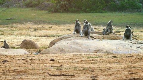 Gray langurs or Hanuman langurs group on the shore of the lake. Sri Lanka. Yala. FullHD footage