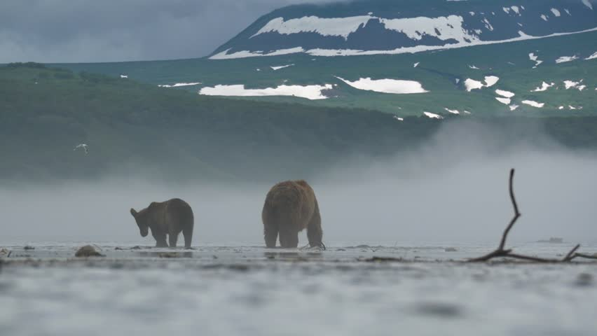 Wild bears of Kurile Lake, Kamchatka Peninsula