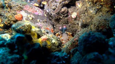 Peacock mantis shrimp with babies