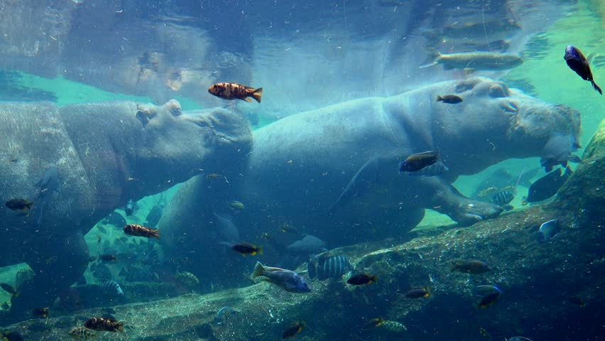 A pair of Pygmy Hippopotamus resting in water alongside exotic colorful fish in a  hot summer day