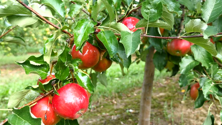 Apple trees with red apples in orchard | Shutterstock HD Video #33480466