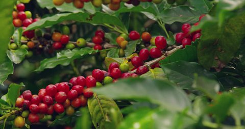 coffee berries on a coffee plantation high in the mountains in Costa Rica