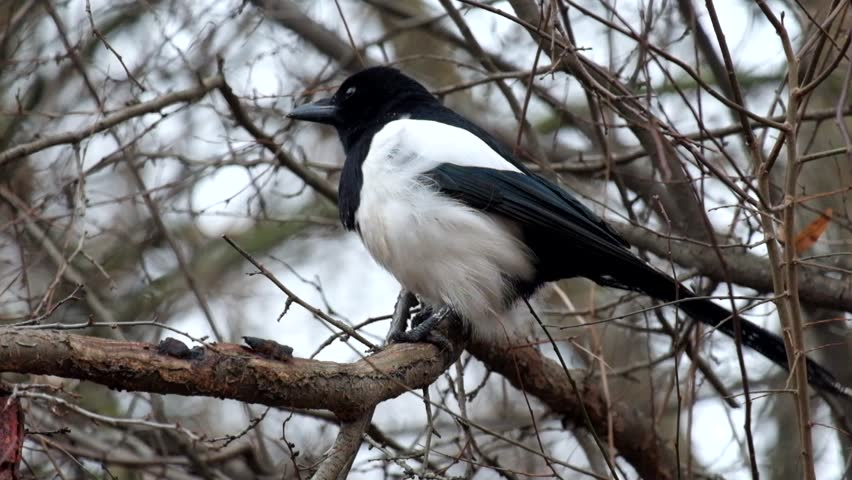 Young Eurasian magpie sits on a branch and wind blows her feathers (Pica pica)