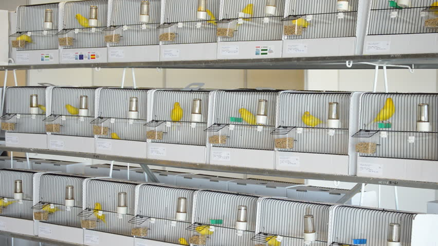 Yellow birds in cages in an exhibition