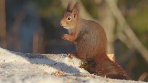 red squirrel animal on ground standing looking for danger moving mouth